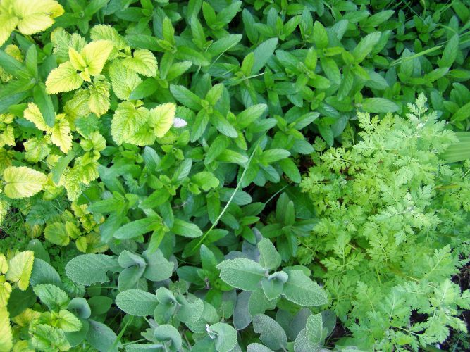 Future tea...chamomile, sage, lemon balm and peppermint in the front yard