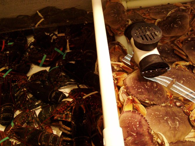 Dungeness and Maine lobster are usually in the Newman's tank