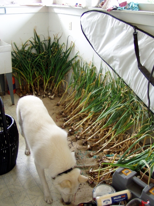 I harvested this year's hard and softneck garlic last weekend and now it's curing in the utility room. Rubin eats just about anything -- in this case dirt.