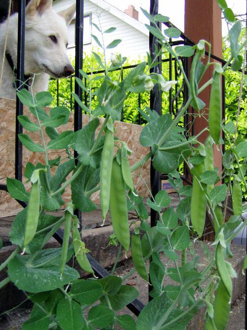 Vine to mouth sugar snap peas