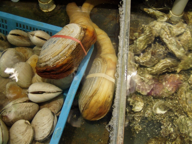 Live geoduck, oysters and clams...