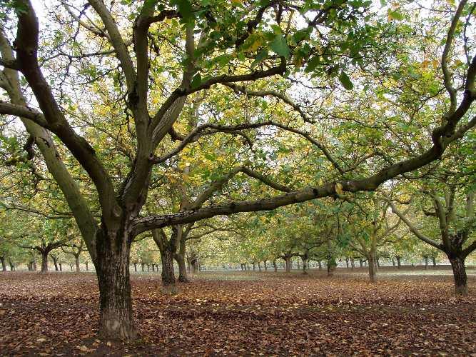 Eggers Acres' walnut grove.