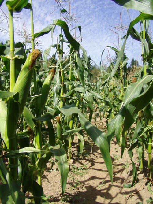 Corn is beautiful.