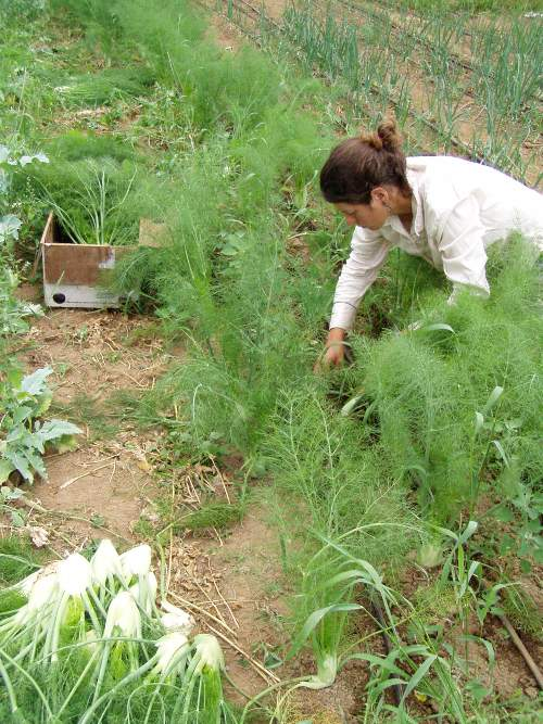 Dancing Roots Farm apprentice Soleil Hutchinson harvesting fennel.