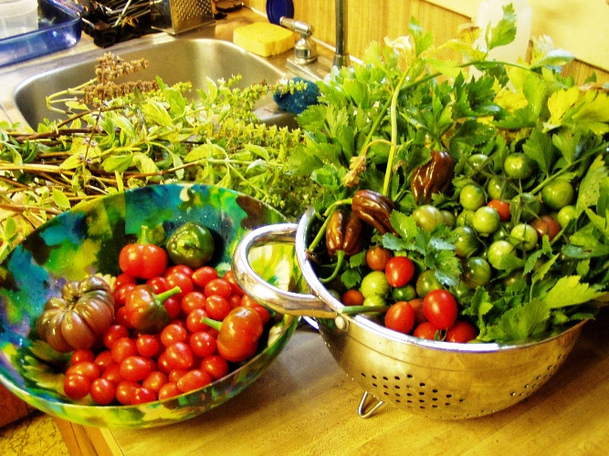What one of my last home garden harvests consisted of mid-October -- lots of tomatoes, chiles, basil and celery.