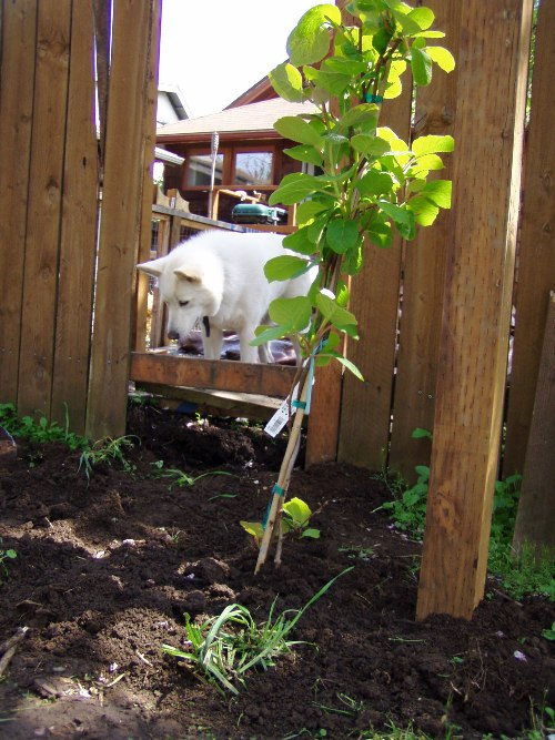 In an Oregon Tilth class you might even learn how to plant kiwi vines that attract white fluffy dogs.
