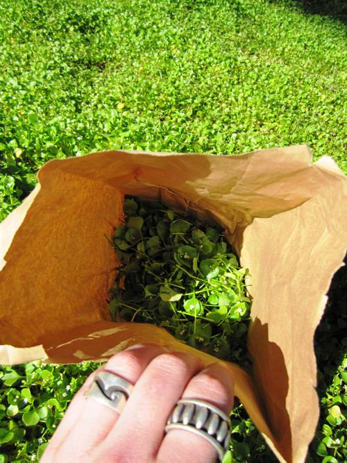 Trimmed, bagged and perfectly wild miner's lettuce