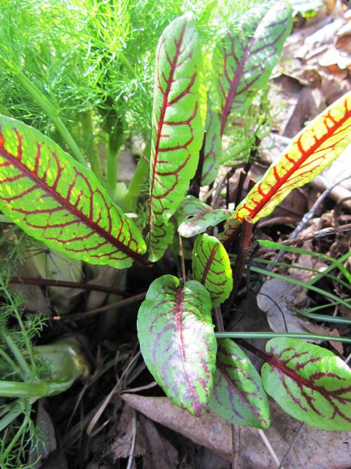 One of my favorite spring sights -- red-veined sorrel