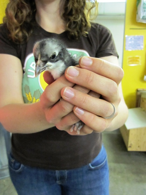 Spring chick at Urban Farm Store.