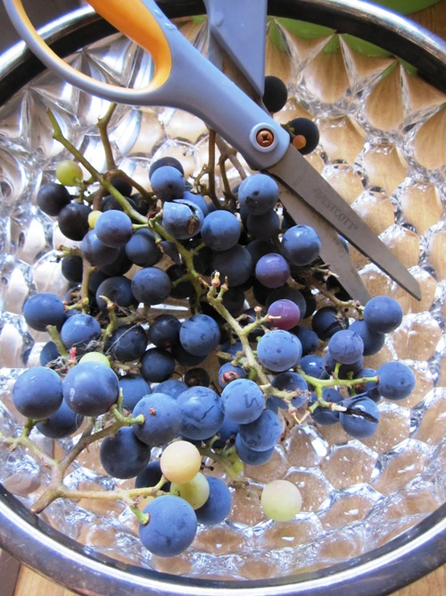 I got our Concord grape vine from the RIP Recycled Garden Center (I think that was the name...) a couple years ago and this year was our first substantial harvest. We ate them all straight-up because they're so tasty as is.