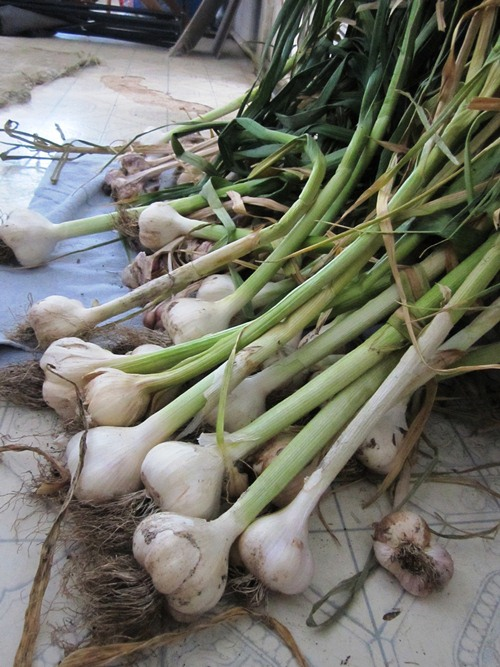 Second garlic harvest a couple weeks later. It was a pretty wet spring and early summer and I lost a lot of garlic to rot.