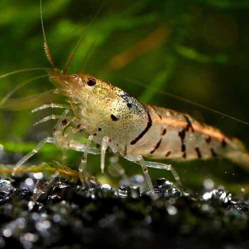 tiger-shrimp.jpg
