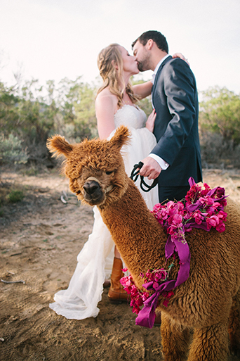 Anza-valley-wedding-at-the-alpaca-farm-bride-and-groom-kissing-with-alpaca-in-front-of-them.jpg