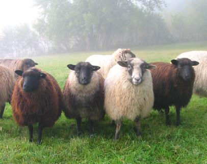 Shetland sheep showing huge range of colour.
