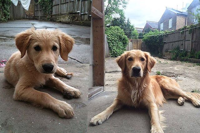 He grew into those ears 🦁 #goldenretriever