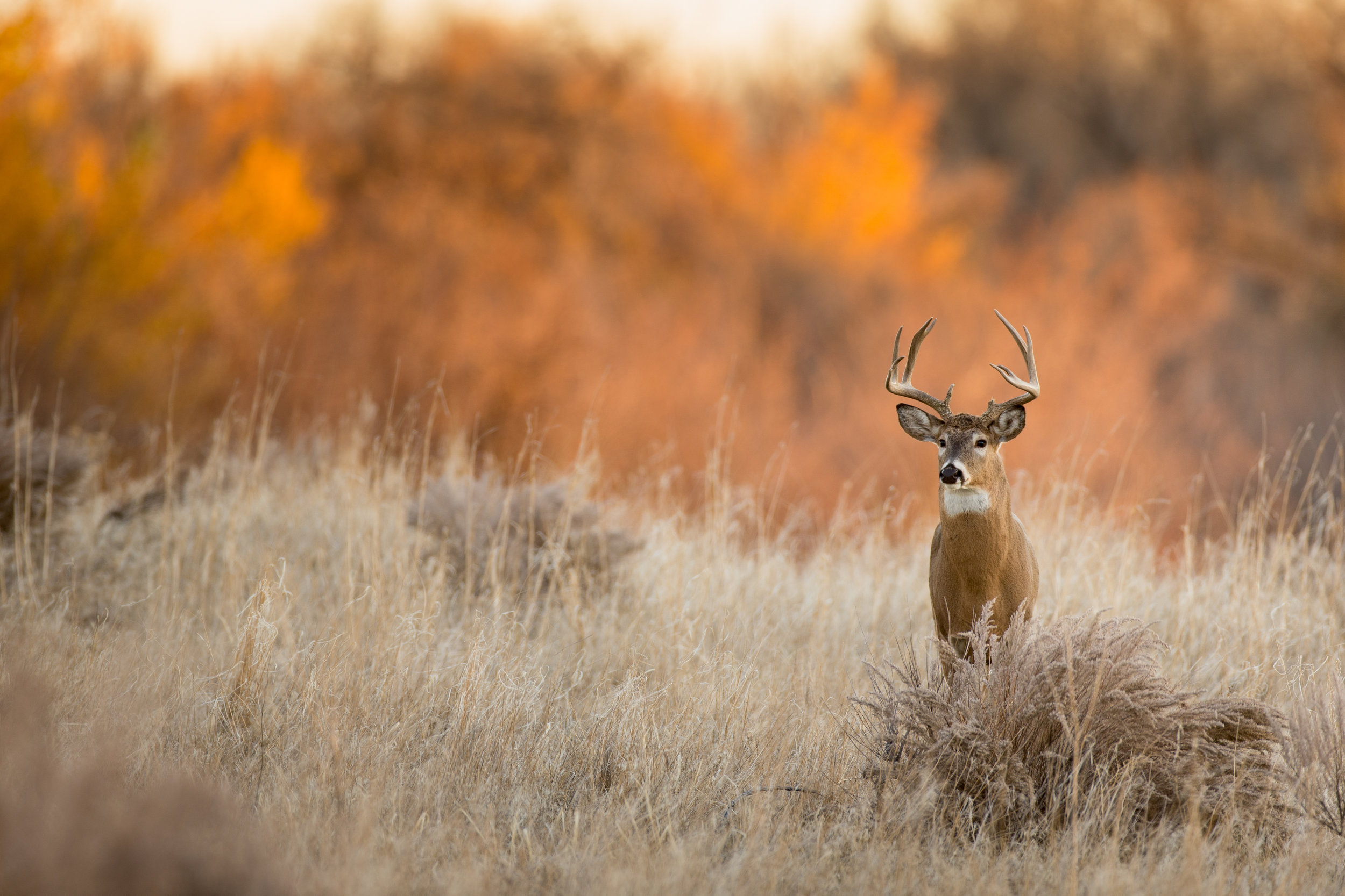 whitetail buck standing in field