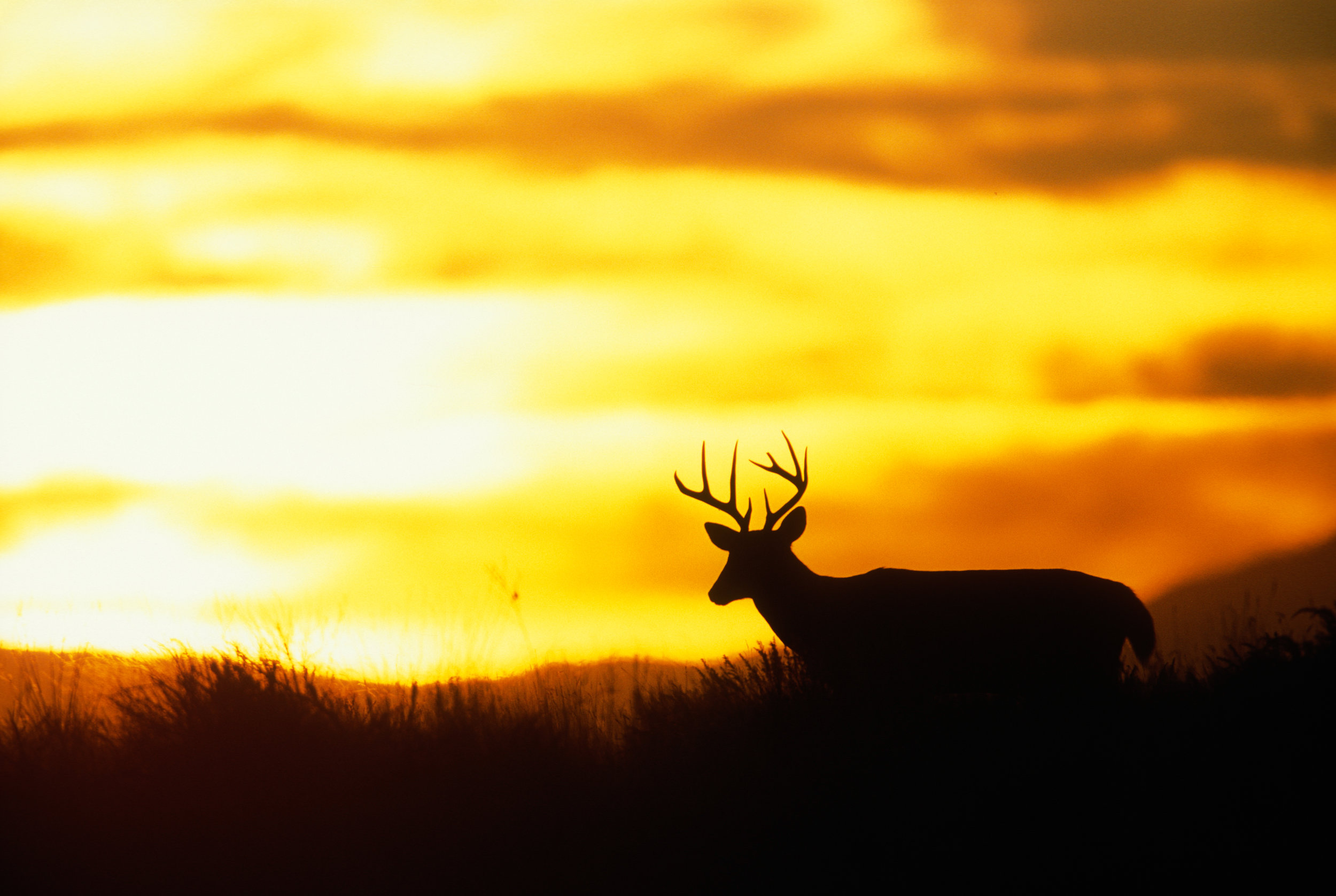 whitetail skylined in front of orange and yellow sky