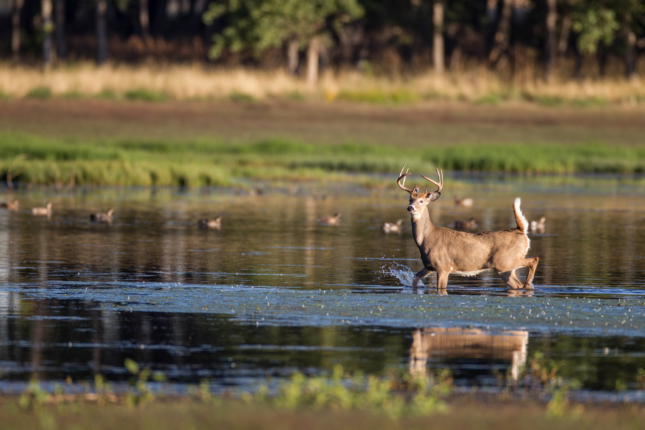 whitetail buck in water surrounded by ducks