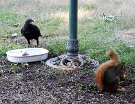 American Crow enjoys a drink of cool water mere minutes after it is changed - while a Red Squirrel enjoys a peanut while sitting on the cool mud! Photo by Kimberly Epp.