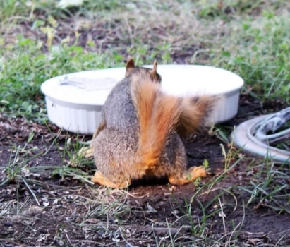 Red Squirrel taking a drink of fresh water during a 37 degree temperature day. Dishes low to the ground are accessible to small mammals, including stray pets. Photo by Kimberly Epp.