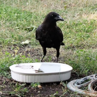 Crow about to take a drink. Bathing in the water is also a way for the birds to cool off. Here, they also have a bird bath beside to do so. Photo by Kimberly Epp.