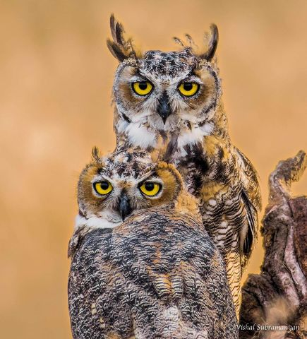 Juvenile Great Horned Owls. Photo By Vishal Subramanyan