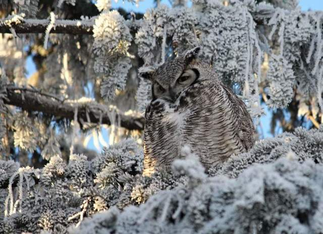 Great Horned Owl amongst the frosty evergreens near Moose Jaw. Photo by Gloria Pawliuk