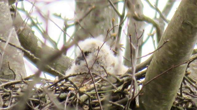 Great Horned Owlet in nest. Photographer Unknown
