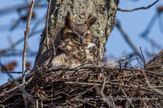 Great Horned on nest. Photo by Doug McCoy