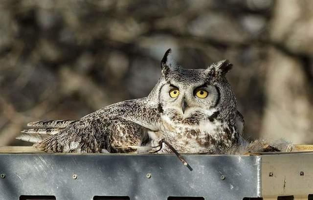 Great Horned Owl on nesting platform. Photo by Branimir Gjetaj
