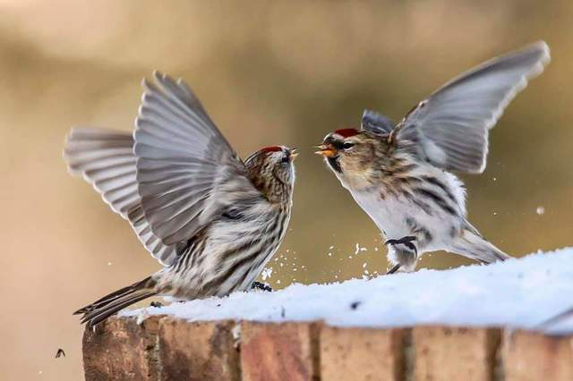 Common Redpolls, Alberta. Photo by Lilly Agnes