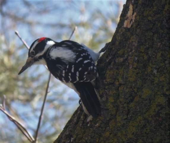 Hairy Woodpecker, Wakamow. Photo by Kimberly Epp