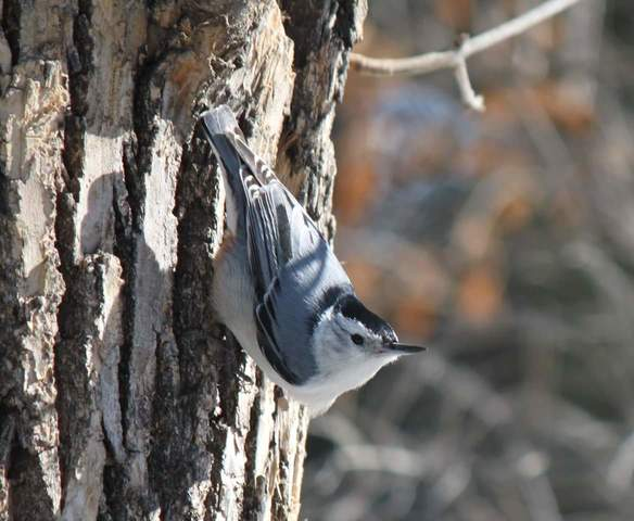 White-breasted Nuthatch, Wakamow. Photo by Kimberly Epp