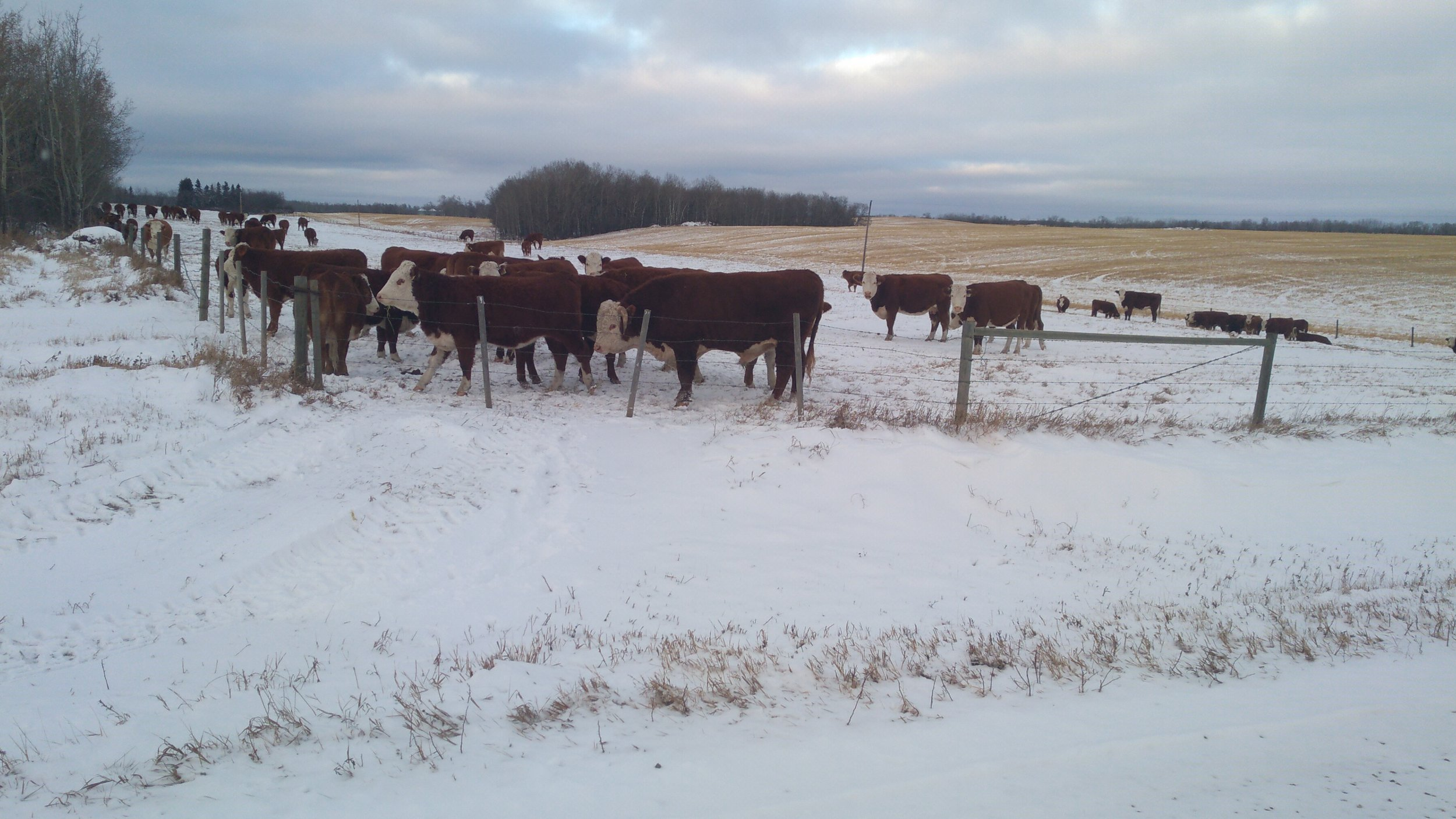 If runoff predictions of below to well below normal come true in the Moose Jaw region finding grazing land for livestock such as pictured here in northwestern Saskatchewan could be essential - MJ Independent file photo