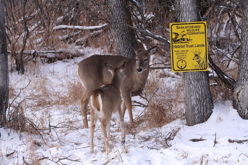 White Tail Deer On Habitat Trust Land - Saskatchewan Wildlife Photo