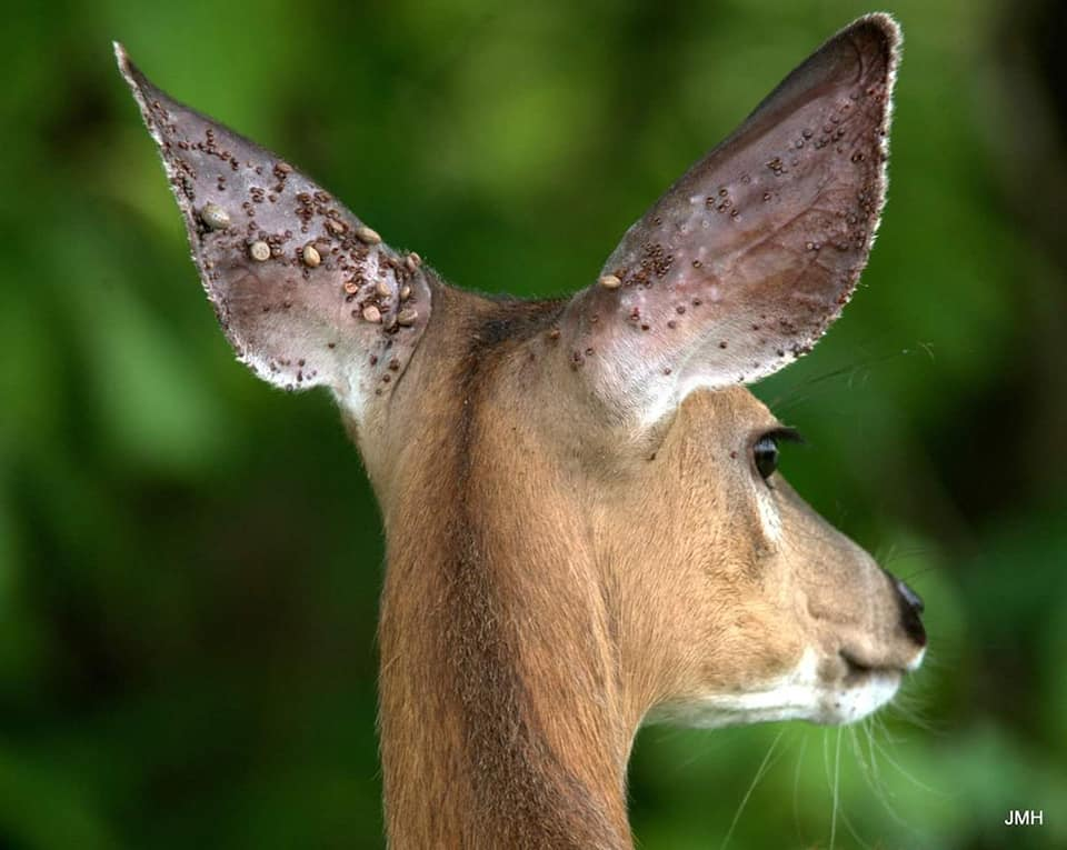 White-tailed Deer with countless ticks, some engorged and latched onto its ears (Photo credit unknown).