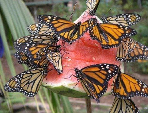 Ripened watermelon does not need to be thrown out. Hang it in your garden area for the butterflies and bees. Monarch Butterflies love it.