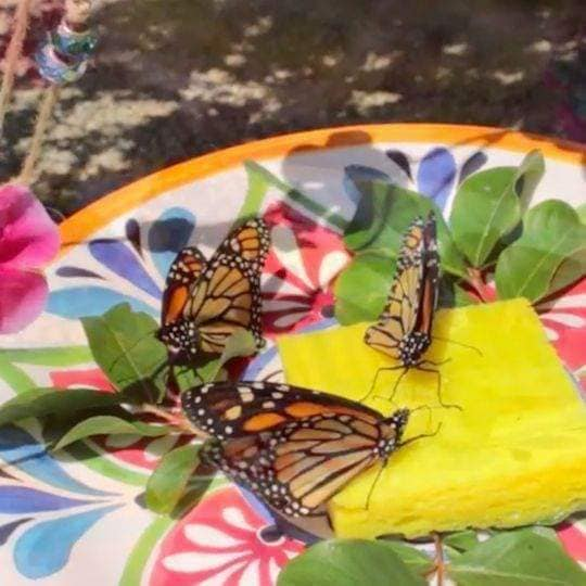 Sugar water on sponges is an easy way to feed insects when fruit is not on hand.