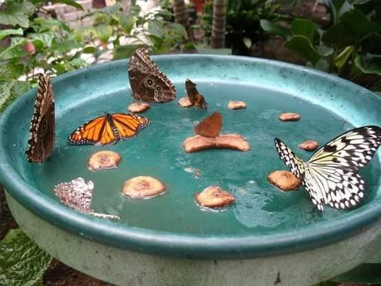 Cut up banana slices in a bird bath may attract several butterflies at once.