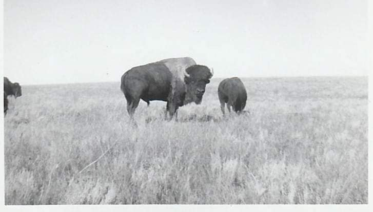 A historic photo of bison at the former Wild Animal Park. (Photo courtesy of Rich Pickering)