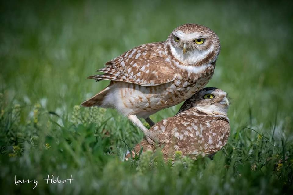 The Burrowing Owl was a species found at Tatawaw, although it is unclear if any are still nesting there. They rely on the burrows abandoned by burrowing animals, specifically from badgers or Prairie Dogs. (Photo by Larry Tibbet)
