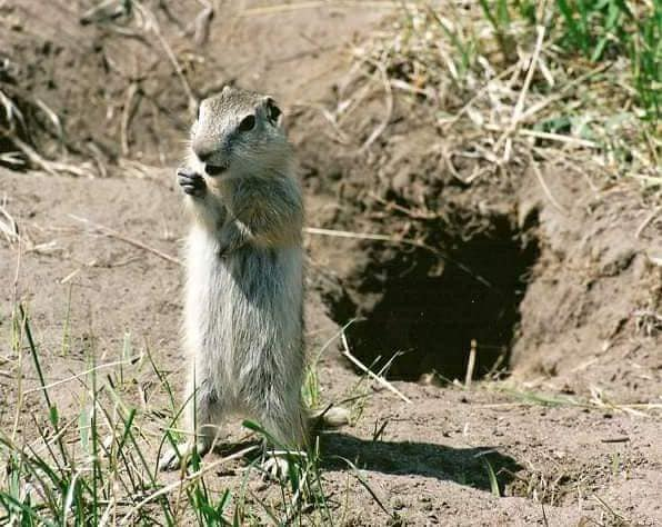 You can find plenty of Richardson's Ground Squirrels at Tatawaw. This juvenile looks like he requires a tiny microphone to sing about his prairie homeland. Ground squirrels, commonly known as gophers, are keystone prey to many predators which also roam the park such as coyotes and birds of prey. (Photo by Kimberly Epp)