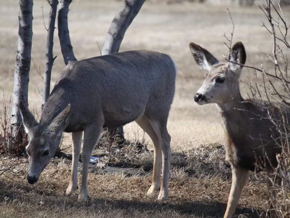 Mule Deer may also be found at the park. Two healthy yearlings still with their mother stop to get their photo taken. (Photo by Kimberly Epp)