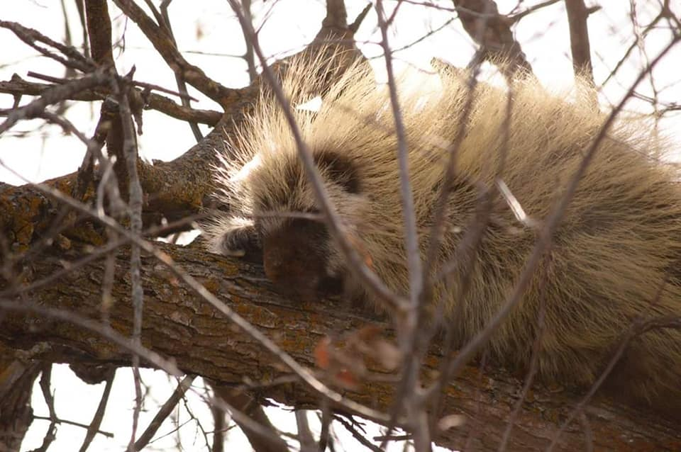 Porcupines, such as this sleepy dude, can also be found at the park. Look for chew marks high in the trees and up in bushes. They especially love the bark of cherry bushes and birch trees. Females give birth to a single porcupette in Spring. (Photo by Patti Kosteniuk)