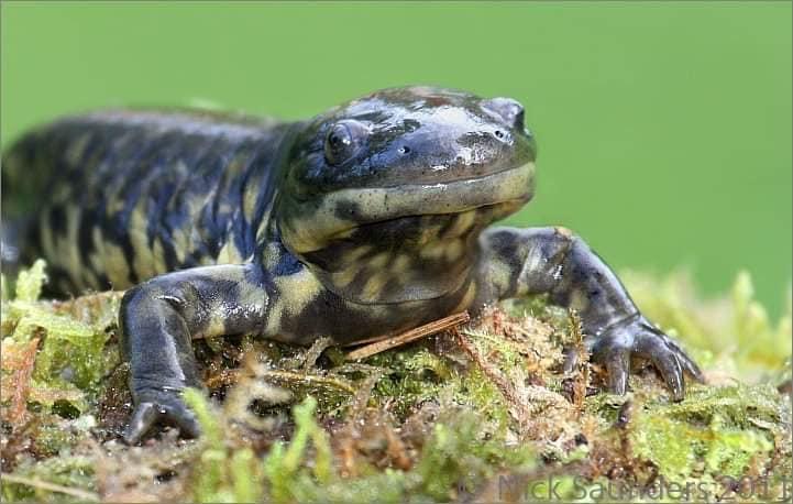 Tiger Salamander, (photo by own Nick Saunders.)
