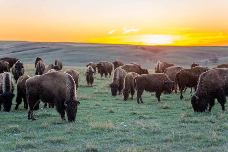 Kandra Forbes,' parents own a sustainable bison ranch. This is what Tatawaw Park may have looked like years ago. (Photo by Kandra Forbes) Bison shaped the land, making it easier for many species to live together in harmony.