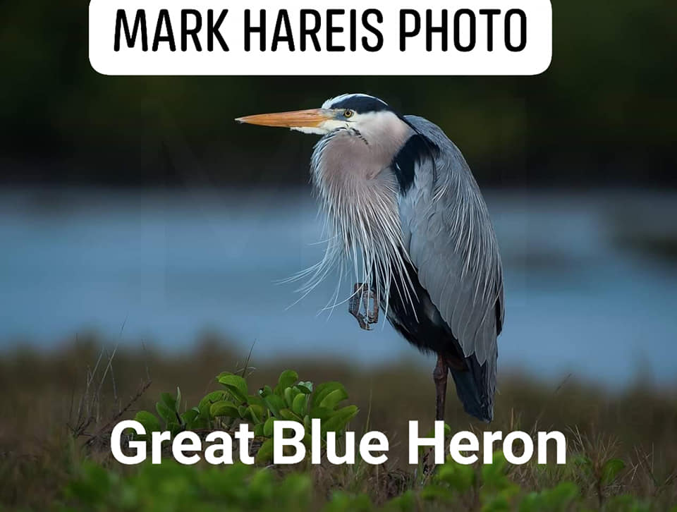 Amazing capture. Get out and see our wildlife! Great Blue Heron make Tatawaw Park and the river their Sunmer home as well.
