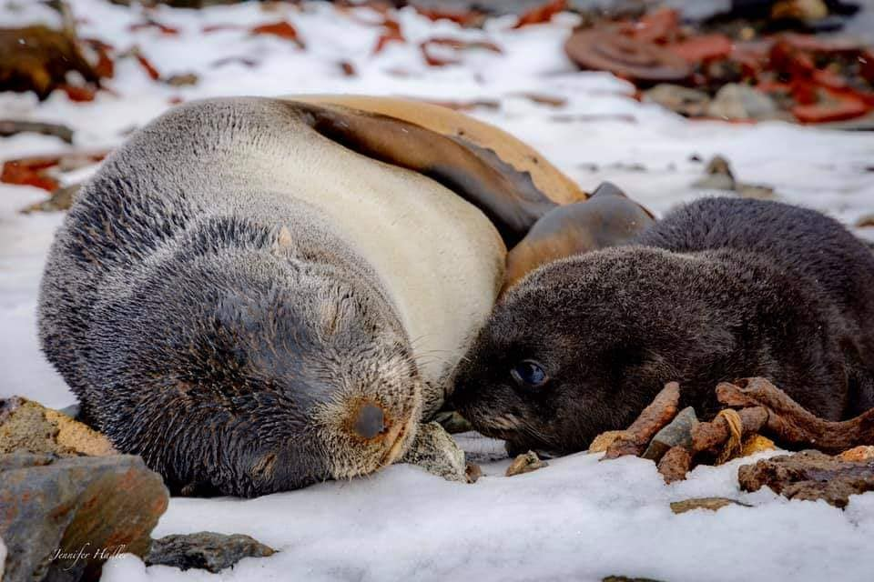 Fur Seal with pup (photo by Jennifer Hadley).