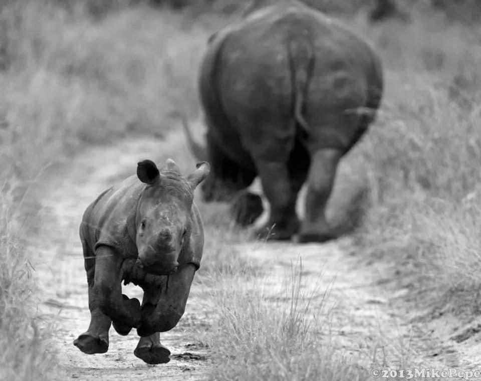White Rhino calf cheekily protecting his/her mom (photo by Mike Pepe).