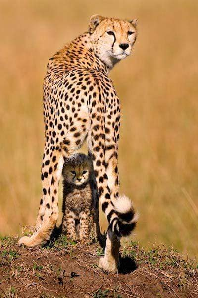 Cheetah mother shielding her cub from the sun (photo by Piper Mackay).